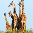 Stock Photo: Family of giraffes