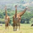 Three standing giraffes — Stock Photo