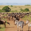 Постер, плакат: Antelopes Gnu and zebras