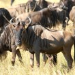 Antelopes Gnu — Stock Photo