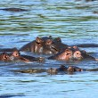 Group of hippos — Stock Photo