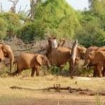 Herd of african elephants eating bush — Stock Photo