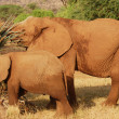 Stock Photo: African elephants mother and baby eating