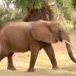 Walking african elephant — Stock Photo
