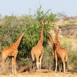 Group of giraffes eating trees — Stock Photo #2167581