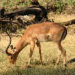 Impala eating grass - Stock Photo