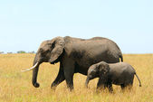 African elephants mother and baby — Stock Photo