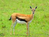 Female Thomson Gazelle — Stock Photo