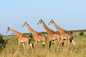 Walking group of giraffes — Stock Photo