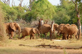 Herd of african elephants eating bush — Stock Photo