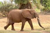 Walking african elephant — Stock Photo