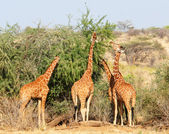 Group of giraffes eating trees — Stock Photo