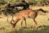 Impala eating grass — Foto Stock