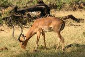 Impala jedzenia trawy — Zdjęcie stockowe