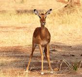 Impala — Foto Stock