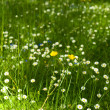 Stock Photo: Field of green grass with small flowers