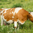 Royalty-Free Stock Photo: Brown and white cow in the meadow