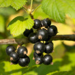 Branch of black currant - Stock Photo