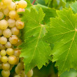 Grapes on the vine — Stock Photo #2197324