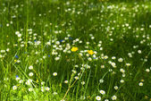 Field of green grass with small flowers — Stock Photo
