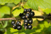 Branch of black currant — Stock Photo