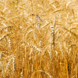 Wheat (rye) background — Stock Photo