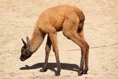 Baby of Llama — Stock Photo