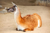 Lama — Photo
