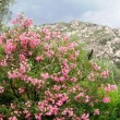 Stock Photo: Mountan flowers