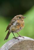 Juvenilní robin — Stock fotografie