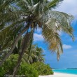 Stock Photo: Coconut palm tree on tropical beach