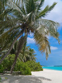 Coconut palm tree on tropical beach — Stock Photo