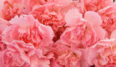 Pink carnations as background — Stock Photo