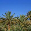 Stock Photo: Palm grove