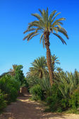 Palm grove in Morocco — Stock Photo
