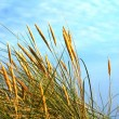 Sunlit rushes moved by wind — Stock Photo