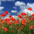 Field of red poppies — Stock Photo