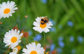 Bee on a daisy — Stock Photo