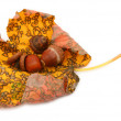 Curled maple leaf with acorns — Stock Photo #2218319