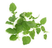 Lemon balm on white — Stock Photo