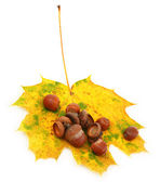 Acorns and maple leaf on white — Stock Photo