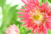 Beautiful bright aster flower — Stock Photo