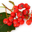 Rowan berries — Stock Photo