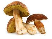 Various boletus mushrooms — Stock Photo