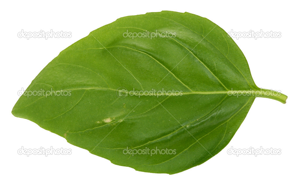 Macro of a single basil leaf against white background  Stock Photo #2229931
