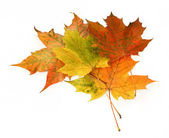 Group of maple leaves — Stock Photo