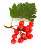 Rowan berries #3 — Stock Photo