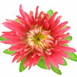 Stock Photo: Aster flower