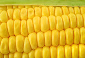 Corn cob background — Stock Photo