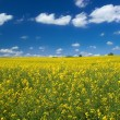 Stock Photo: Canolfield with cumulus clouds